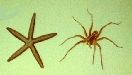 starfishspider
